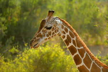 Giraffe (Giraffa camelopardalis) adult, close-up of head and neck, against Acacia thorn on Sir Bani Yas Island, Abu Dhabi, United Arab Emirates  -  Nigel Cattlin/ FLPA