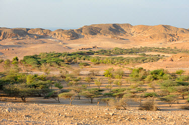 Acacia and other trees irrigated with desalinated water on Sir Bani Yas Island Nature Reserve, Abu Dhabi, United Arab Emirates  -  Nigel Cattlin/ FLPA