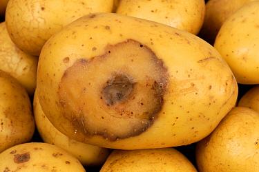 Bacterial soft rot (Erwinia carotovora) lesion forming on shop bought potato tuber  -  Nigel Cattlin/ FLPA
