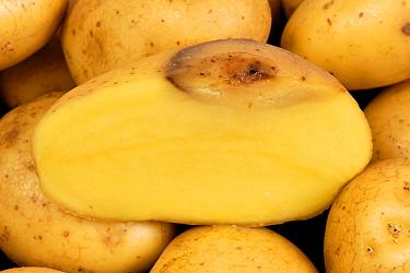 Bacterial soft rot (Erwinia carotovora) lesion shown on cut half of potato tuber  -  Nigel Cattlin/ FLPA