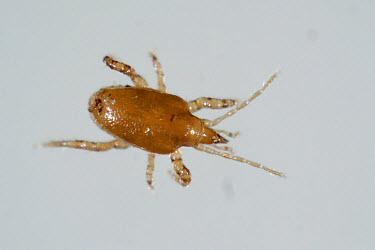 Predatory mite (Macrocheles robustulus) adult predator of thrips & sciarid flies  -  Nigel Cattlin/ FLPA