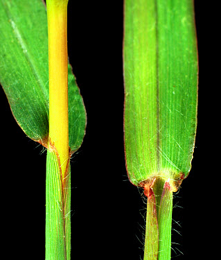 Large or hairy crabgrass Digitaria sanguinalis grass ligules  -  Nigel Cattlin/ FLPA