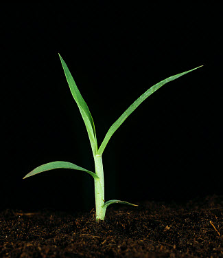 Large crabgrass Digitaria sanguinalis seedling plant  -  Nigel Cattlin/ FLPA