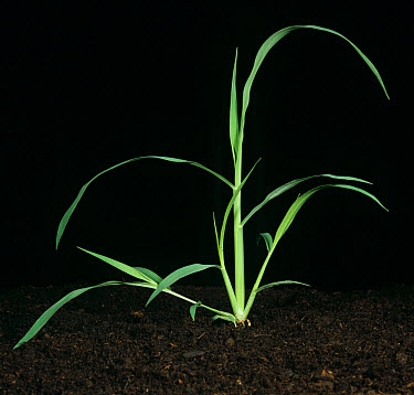 Large crabgrass Digitaria sanguinalis tillering plant  -  Nigel Cattlin/ FLPA