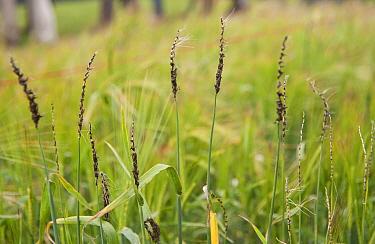 Barley (Hordeum vulgare) close-up of ears, infected with Loose Smut (Ustilago nuda f.sphordei) fungal disease, Lincolnshire, England, june  -  John Eveson/ FLPA