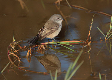Sooty Tyrannulet (Serpophaga nigricans) adult, perched on stem in water, Ceibas, Entre Rios, Argentina, june  -  James Lowen/ FLPA
