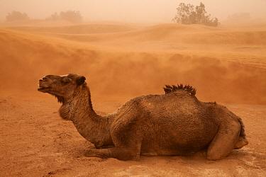 Dromedary Camel (Camelus dromedarius) adult, resting on desert sand dune during sandstorm, Sahara, Morocco, may  -  Bernd Rohrschneider/ FLPA
