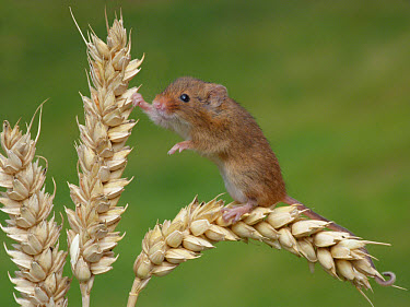 Harvest Mouse (Micromys minutus) adult, climbing on ripe wheat ear, Leicestershire, England, june (controlled)  -  Gianpiero Ferrari/ FLPA