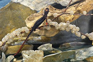 Northern Spectacled Salamander (Salamandrina perspicillata) adult female, depositing eggs on submerged twig, Italy  -  Emanuele Biggi/ FLPA
