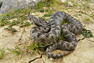 Nose-horned Viper (Vipera ammodytes) adult male, on cracked soil, Croatia  -  Emanuele Biggi/ FLPA