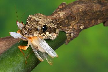 Kuhl's Flying Gecko (Ptychozoon kuhli) adult, feeding on orchid mantid, Tropical Asia  -  Emanuele Biggi/ FLPA