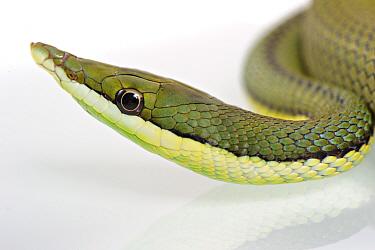 Argentine Long-nose Snake (Philodryas baroni) adult, close-up of head  -  Emanuele Biggi/ FLPA