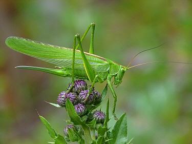 Great Green Bush-cricket (Tettigonia viridissima) adult female, resting on Meadow Thistle (Cirsium dissectum), Cannobina Valley, Piedmont, Northern Italy, july  -  Gianpiero Ferrari/ FLPA
