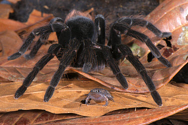 Peruvian Tarantula (Pamphobeteus sp) adult, walking over Dotted Humming Frog (Chiasmocleis ventrimaculata) without preying on it, interspecific commensal relationship, Los Amigos Biological Station, M...  -  Emanuele Biggi/ FLPA