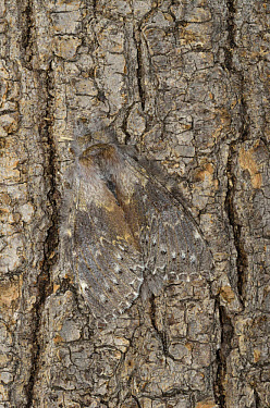 Lobster Moth (Stauropus fagi) adult, camouflaged on tree trunk, Oxfordshire, England  -  Malcolm Schuyl/ FLPA
