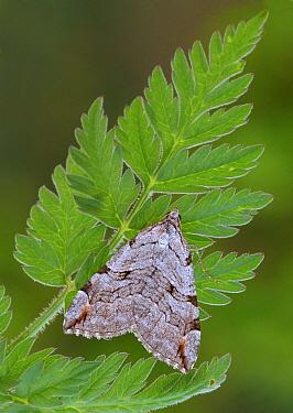 Treble-bar Moth (Aplocera plagiata) adult, resting on fern frond, Leicestershire, England, may  -  Gianpiero Ferrari/ FLPA
