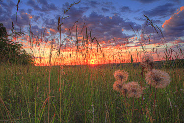 Goatsbeard (Tragopogon pratensis) seedheads, growing in hay meadow habitat at sunset, Causse de Gramat, Massif Central, Lot, France, may  -  Richard Becker/ FLPA