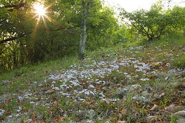 Rocket Candytuft (Iberis amara) flowering, growing in open woodland habitat on limestone, Causse de Gramat, Massif Central, Lot, France, may  -  Richard Becker/ FLPA