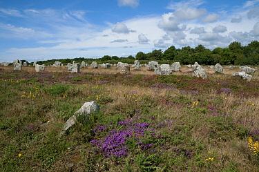 Megalithic standing stones, Carnac Stones, Carnac, Brittany, France, august  -  David Burton/ FLPA