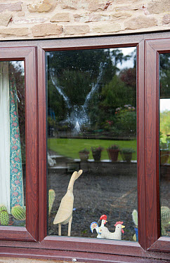 Wood Pigeon (Columba palumbus) powder down imprint on glass after collision with window, Bouldon, Shropshire, England, september  -  John Eveson/ FLPA