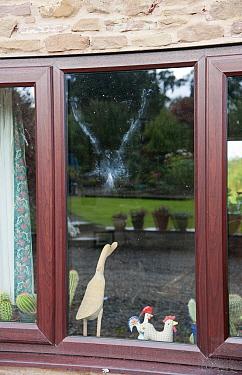 Wood Pigeon (Columba palumbus) powder down imprint on glass after collision with window, Bouldon, Shropshire, England, september  -  John Eveson/ FLPA
