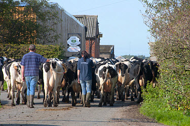 Domestic Cattle, Holstein dairy cows, farmers bringing herd in for milking, Hutton, Preston, Lancashire, England, september  -  John Eveson/ FLPA