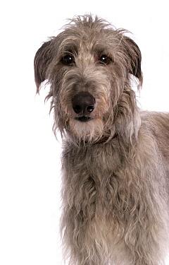 Domestic Dog, Deerhound, adult, close-up of head  -  Chris Brignell/ FLPA