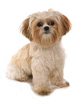 Domestic Dog, Shih Tzu, adult, sitting  -  Chris Brignell/ FLPA