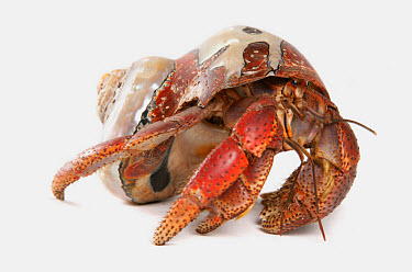 Caribbean Hermit Crab (Coenobita clypeatus) adult  -  Chris Brignell/ FLPA
