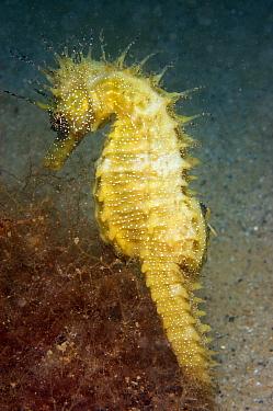 Long-snouted Seahorse (Hippocampus guttulatus) adult, amongst red algae on sandy seabed, Studland Bay, Dorset, England, august  -  Steve Trewhella/ FLPA