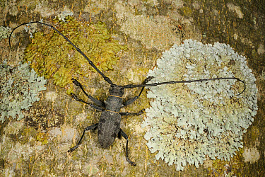 Longhorn Beetle (Morimus asper) adult, on lichen covered tree trunk, Italy, june  -  Fabio Pupin/ FLPA