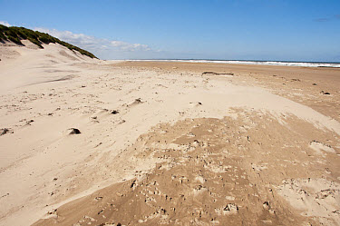 Windblown sand on beach and sand dunes, Bamburgh, Northumberland, England, july  -  John Eveson/ FLPA