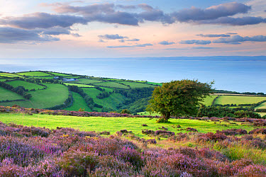 View of flowering heather blowing in breeze and coastal farmland at sunset, Porlock Hill, Worthy Wood, Culbone, Exmoor National Park, Somerset, England, august  -  Andrew Wheatley/ FLPA