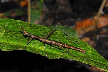 Proscopiid Grasshopper (Apioscelis sp) 'Jumping Stick Insect', adult, resting on leaf, Yasuni National Park, Amazon, Ecuador  -  Malcolm Schuyl/ FLPA