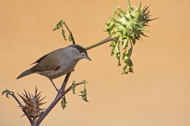 Blackcap (Sylvia atricapilla) adult male, perched on Thorn Apple (Datura sp) stem, Northern Spain, september  -  Roger Tidman/ FLPA