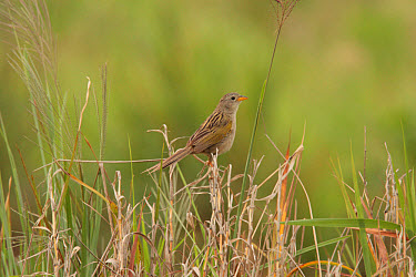 Wedge-tailed Grass-finch (Emberizoides herbicola) adult, perched on grass stems, Santa Olga, Formosa, Argentina, october  -  James Lowen/ FLPA