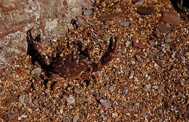 Crab, Xantho incisus In degensive attitude on seashore, Wembury, South Devon  -  D.P. Wilson/ FLPA