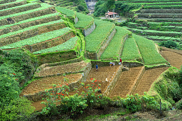 Terrace cultivation, mountain slope terraced farming with cauliflowers, cabbages, beans, cowpeas and carrots, Pallanghi-vilpatti Region, Kodaikanal, Tamil Nadu, India  -  Parameswaran Pillai Karunakaran/