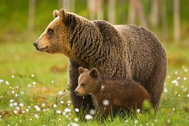 European Brown Bear (Ursus arctos arctos) adult female with cub, standing amongst cotton-grass, in taiga forest, Finland, june  -  Jules Cox/ FLPA