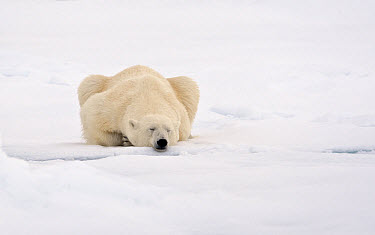 Polar Bear (Ursus maritimus) adult, sleeping on snow, Murchisonfjorden, Svalbard, june  -  Jules Cox/ FLPA