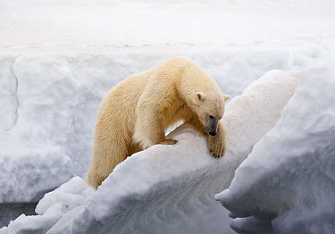 Polar Bear (Ursus maritimus) adult, climbing on ice, Murchisonfjorden, Svalbard, june  -  Jules Cox/ FLPA