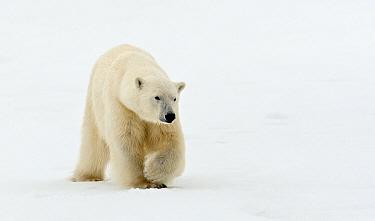 Polar Bear (Ursus maritimus) adult, walking on snow, Murchisonfjorden, Svalbard, june  -  Jules Cox/ FLPA