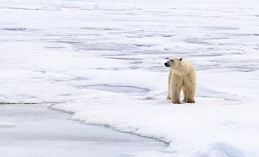 Polar Bear (Ursus maritimus) adult, standing on pack ice, Murchisonfjorden, Svalbard, june  -  Jules Cox/ FLPA