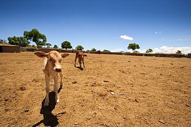 Domestic Cattle, two calves, standing on dry soil at edge of Masai village, Masai Mara, Kenya  -  Andrew Linscott/ FLPA