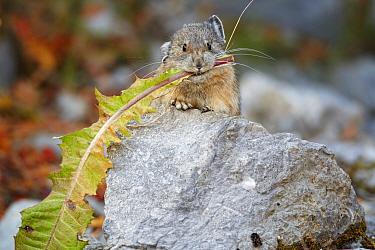American Pika (Ochotona princeps) adult, feeding on dandelion leaf, Jasper National Park, Rocky Mountains, Alberta, Canada, september  -  Ignacio Yufera/ FLPA