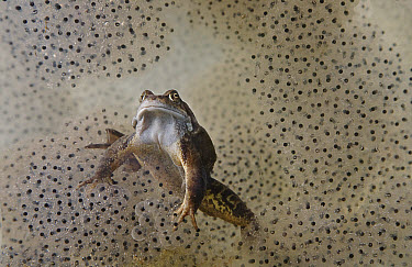 Common Frog (Rana temporaria) adult, underwater amongst spawn in garden pond, Bentley, Suffolk, England, may  -  Andrew Bailey/ FLPA