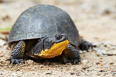 Blanding's Turtle (Emydoidea blandingii) adult, resting on sand, North Michigan, U.S.A., june  -  Ignacio Yufera/ FLPA
