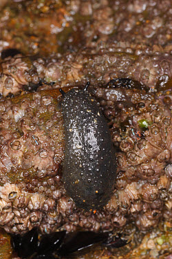 Celtic Seaslug (Onchidella celtica) adult, on rocky shore, Sandymouth Bay, Cornwall, England, october  -  Steve Trewhella/ FLPA