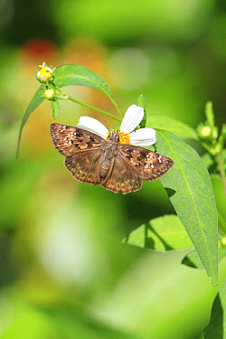 Horace's Duskywing (Erynnis horatius) adult, feeding on Spanish Needle (Bidens pilosa) flower, Florida  -  Edward Myles/ FLPA