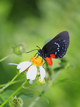 Atala (Eumaeus atala) adult, feeding on Spanish Needle (Bidens pilosa) flower, Florida  -  Edward Myles/ FLPA
